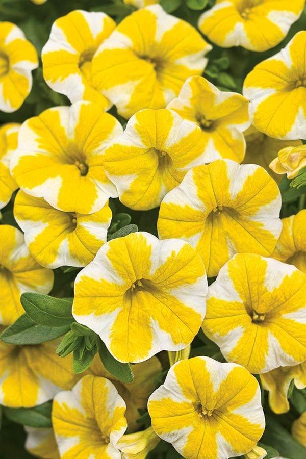 однолетнии цветы для сада