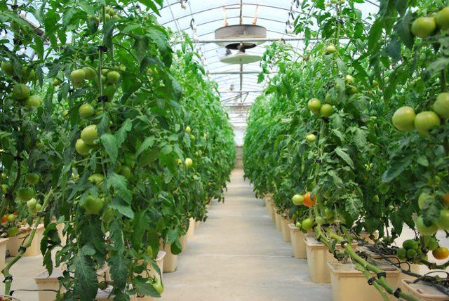 вырастить томаты в теплице
