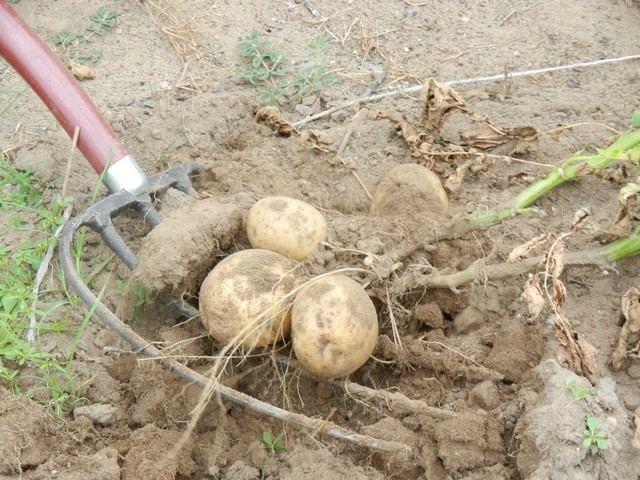 Уборка урожая картофеля на приусадебном участке