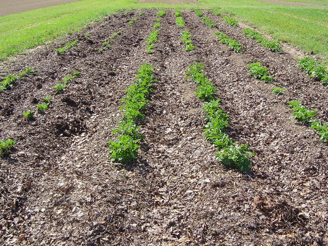 Как посадить картофлель