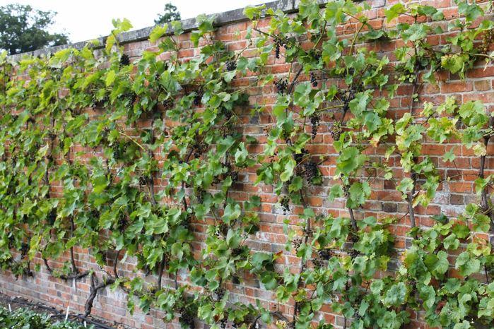 Виноград растет вдоль стены