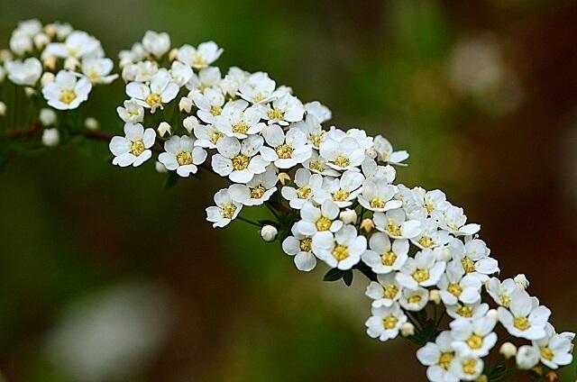Спирея цветы