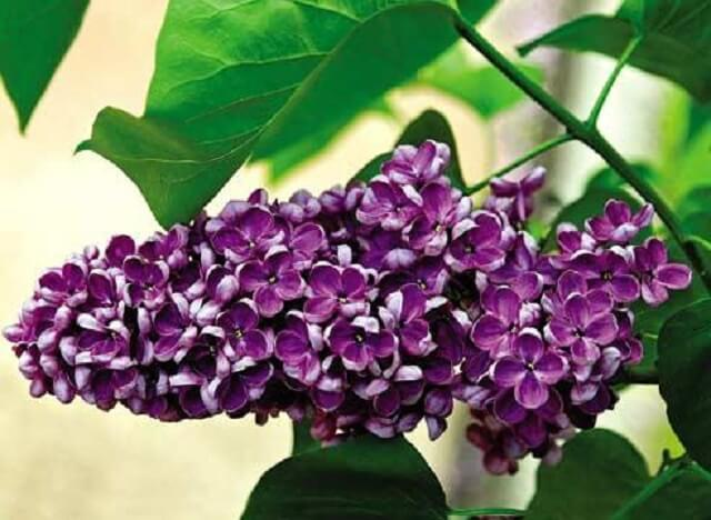 Сирень цветы