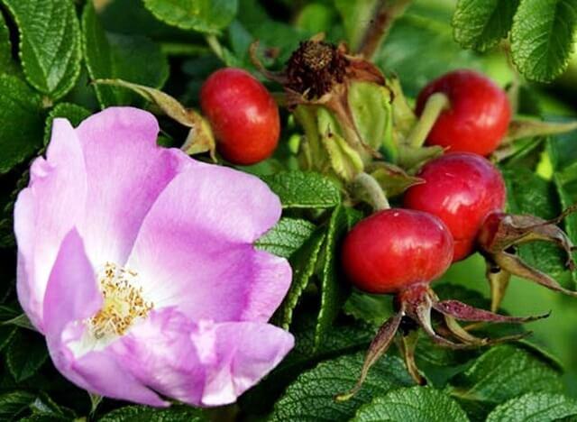 шиповник цветы